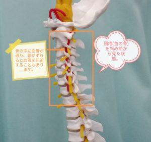 首の骨を斜め前からみた状態