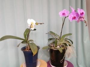 胡蝶蘭が開花しました