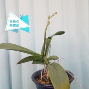 白色の胡蝶蘭